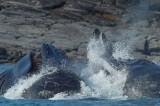 D4S_1113F bultrugwalvis (Megaptera novaeangliae, Humpback whale).jpg