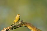 D4S_0251F groenling (Chloris chloris, European Greenfinch).jpg