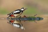 D4S_0472F grote bonte specht (Dendrocopos major, Great Spotted Woodpecker).jpg