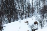 500_0359F rendier (Rangifer tarandus, Reindeer).jpg
