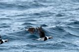 500_0380F ijseend (Clangula hyemalis, Long-tailed duck)..jpg