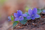 D4S_3860F bosviooltje (Viola riviniana, Common dog-violet) of bleeksporig bosviooltje.jpg