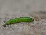 D40_1122F larve van een bladwesp (Selandria serva).jpg