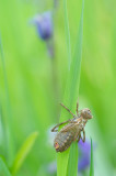 D4S_4236F larvenhuidje van een uitgeslopen platbuik (Libella depressa, broad-bodied chaser or broad-bodied darter).jpg