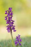 D4S_4098F harlekijn (Anacamptis morio, Green-winged orchid).jpg