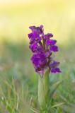 D4S_4119F harlekijn (Anacamptis morio, Green-winged orchid).jpg