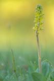 D4S_4660F grote keverorchis (Neottia ovata, Common twayblade).jpg