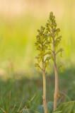 D4S_4726F grote keverorchis (Neottia ovata, Common twayblade).jpg