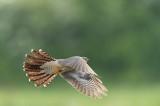 D4S_4517F koekoek (Cuculus canorus, Common Cuckoo).jpg