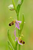 DSC0479F bijenorchis (Ophrys apifera, bee orchid).jpg