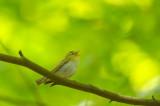 D4S_6762F fluiter (Phylloscopus sibilatrix, Wood Warbler).jpg