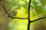 D4S_6013F fluiter (Phylloscopus sibilatrix, Wood Warbler).jpg