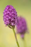 ND5_5561F hondskruid (Anacamptis pyramidalis, Pyramidal orchid).jpg