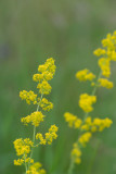 ND5_6953F geel of echt walstro (Galium verum, Lady's bedstraw or Yellow bedstraw).jpg