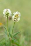 ND5_7126F bergklaver (Trifolium montanum, Mountain clover).jpg