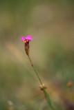 ND5_7936F kartuizer anjer (Dianthus carthusianorum, Carthusian pink).jpg