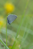 ND5_7557F dwergblauwtje (Cupido minimus, Small blue).jpg