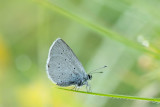 ND5_7554F dwergblauwtje (Cupido minimus, Small blue).jpg