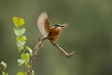 ND5_1912F ijsvogel (Alcedo atthis, Kingfisher).jpg