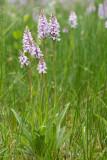 ND5_1800F gewone rietorchis (Dactylorhiza praetermissa subsp. praetermissa, Southern marsh orchid or Leopard marsh orchid).jpg