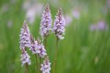 ND5_1826 gewone rietorchis (Dactylorhiza praetermissa subsp. praetermissa, Southern marsh orchid or Leopard marsh orchid).jpg