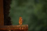 ND5_6023F steenuil (Athene noctua, Little Owl) in de late avondzon.jpg