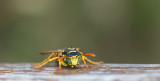 D40_4371F Franse veldwesp (Polistes dominula, European paper wasp).jpg