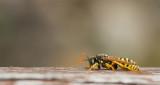 D40_4382F Franse veldwesp (Polistes dominula, European paper wasp).jpg
