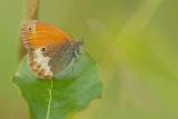 ND5_4322F tweekleurig hooibeestje (Coenonympha arcania, Pearly Heath).jpg