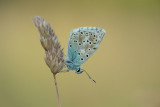 ND5_3644F bleek blauwtje (Polyommatus coridon, Chalkhill blue).jpg