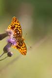 ND5_9799F bosrandparelmoervlinder (Fabriciana adippe, High brown fritillary).jpg