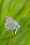 ND5_9018F wikkeblauwtje (Polyommatus amandus, Amanda's blue).jpg
