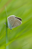ND5_9032F wikkeblauwtje (Polyommatus amandus, Amanda's blue).jpg