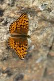 ND5_9165F duinparelmoervlinder (Argynnis niobe, Niobe Fritillary butterfly).jpg