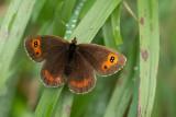ND5_8892F zomererebia (Erebia aethiops, Scotch argus).jpg
