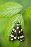 ND5_3377F bonte beer (Callimorpha dominula, Scarlet tiger moth).jpg