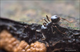Mier-Ant; showing the size of Badhamia utriculari