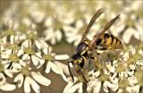 wespen-wasps
