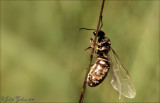 Zwartrugbosmier (Formica pratensis)