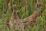 fazant (Phasianus colchicus), juvenile
