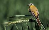 gele kwikstaart_grey wagtail