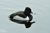 ringnecked duck (but only ever has rings on bill ! )