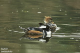 male and female Hooded Merganser pair