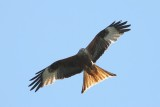 Rode wouw - Kite - Milvus milvus