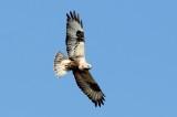 Ruigpootbuizerd - Rough-legged buzzard - Buteo Lagopus