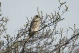 Smelleke - Merlin - Falco columbaeius