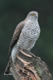 Sperwer - Sparrow hawk - Accipiter nisus