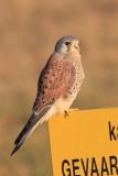 Torenvalk - Kestrel - Falco tinnuneulus