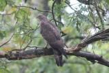 Wespendief - Honey buzzard - Pernis apivorus