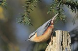 Boomklever - Nuthatch / Boomkruipers - Tree creeper